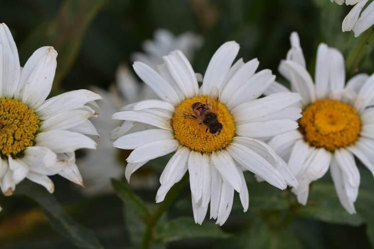 lourymage - Les Marguerites