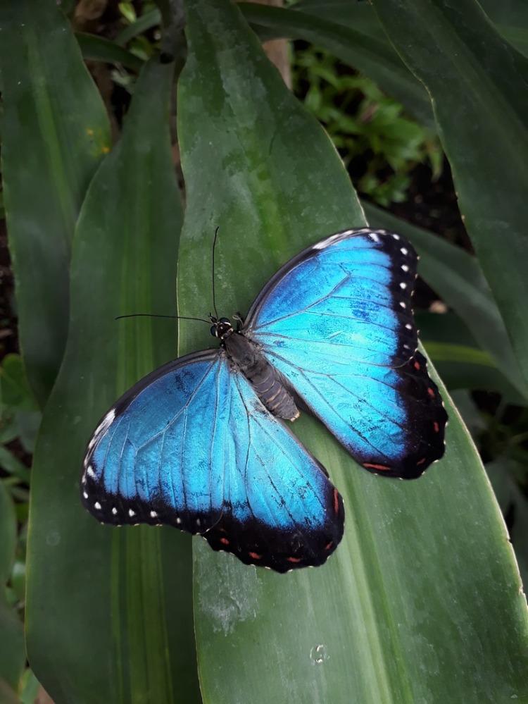 Lourymage - Papillon Bleu